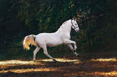 white coated horse running